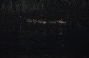 Crocodile Malaysia